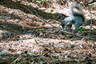Delmarva Fox Squirrel, Blackwater Wildlife Refuge
