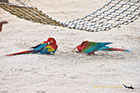 Parrots along the Rio Negro River Brazil