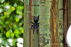 Pinktoe Tarantula along the Rio Negro River Brazil