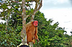 Uakari or Red-faced Monkey along the Rio Negro River Brazil