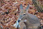 Whitetail Deer Doe, Shenandoah National Park