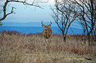 Whitetail Deer Buck, Shenandoah National Park