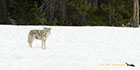 Coyote on snow pack Yellowstone National Park