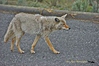 Coyote moving in traffic, Yellowstone National Park