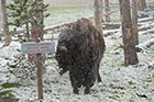 Bisons can't read signs, Yellowstone National Park