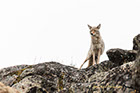 Coyote on guard at Yellowstone National Park