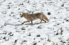 Coyote moving through a snowy field, Yellowstone National Park