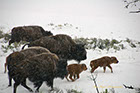 Bison Herd on the move, Yellowstone National Park